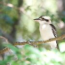 Kookaburra sits in the ole gum tree...   by Jenny Dean