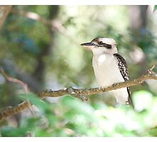 Kookaburra sits in the ole gum tree...   Photographic Print