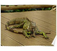Male Lizard Poster