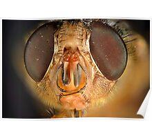 Blowfly Portrait (Chrysomya megacephala?) Poster