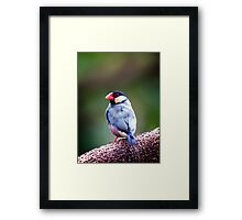 Java Finch.. Framed Print