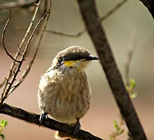 Singing Honeyeater by robynart