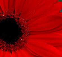 Red Gerbera  by LeJour