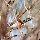 Red Capped Robin       Petroica goodenovii by robynart