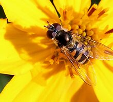 Hoverfly (3) by LeJour