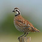 Northern Bobwhite by photosbyjoe