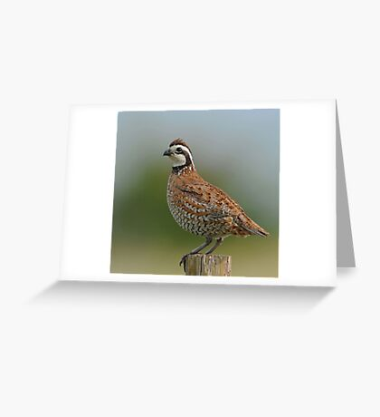 Northern Bobwhite Greeting Card