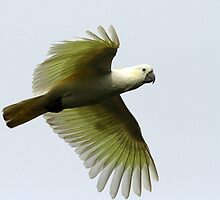 A sulphur crested cockatoo in flight by jozi1