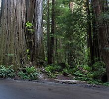 Exploring Jedediah Smith Redwoods by Richard Thelen