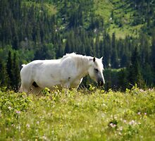White Mustang in Glacier National Park by Daniel Arthur Brown
