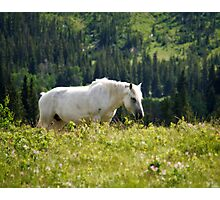 White Mustang in Glacier National Park Photographic Print