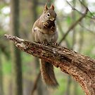 Red Squirrel with a Snack by Veronica Schultz