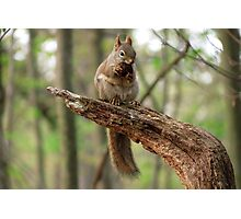 Red Squirrel with a Snack Photographic Print
