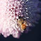 Bee on pincushion flower by Lynn Starner