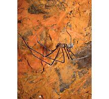 Tasmanian cave spider, Hickmania troglodytes, western Tasmania Photographic Print