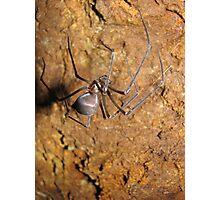 Hickmania Troglodytes, Tasmanian cave spider, Mace's Show, Tarkine, Tasmania Photographic Print