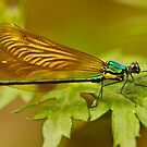 damselfly by davvi