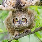 Great Horned Owl Fledgling Stretch. by Daniel Cadieux