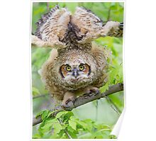 Great Horned Owl Fledgling Stretch. Poster