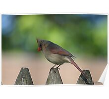 Northern Female Cardinal Poster