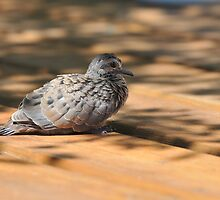 Dove Fledgling by Lynda  McDonald