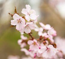Cherry Blossoms by Arata