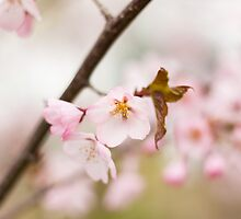 Cherry Blossoms by Arata