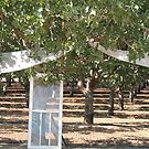 Wedding in a Pistacho Orchard by Sandra Gray