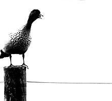 justa duck by Trish Threlfall