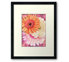 Sweet Daisy Sorbet Framed Print