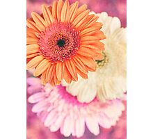 Sweet Daisy Sorbet Photographic Print