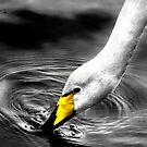 Whooper Swan Drinking by George Crawford