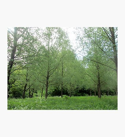 lovely willow trees Photographic Print