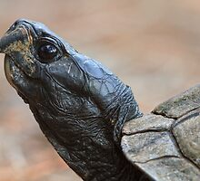 Tortoise Profile by William C. Gladish