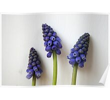 Purple Grape Hyacinth Poster