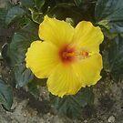 yellow hiboscus by librapat