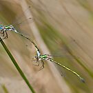 Blue damselflies by César Torres
