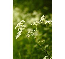 Cow Parsnip  (Heracleum maximum)  Photographic Print