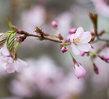 Icy Cherry Blossoms by Arata