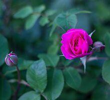 Pink Rose by Arata