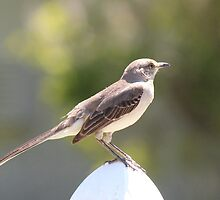 Mockingbird by Bob Hardy