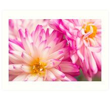Two  White and Pink Decorative Dahlia Art Print