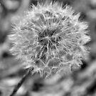 Dandelion In B&W by ©Dawne M. Dunton