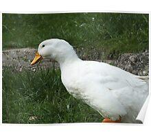 Wet Duck Poster