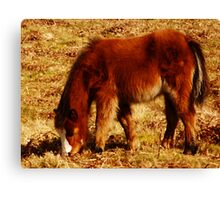 Cefn Bryn Pony Canvas Print