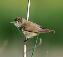 Reed Warbler by Peter Wiggerman