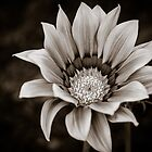 Gazania in B&W by Richard Fortier