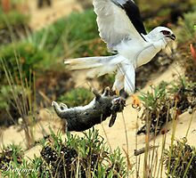 Black-shouldered Kite with Rabbit by AzoicArts