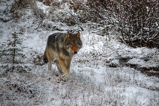 Lone Wolf - Kootenay National Park by JamesA1