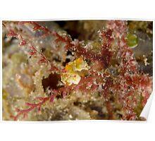 Pontoh's Pygmy Seahorse - Hippocampus pontohi Poster